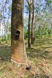 Knackande lätt på latex från den rubber treen Royaltyfri Foto