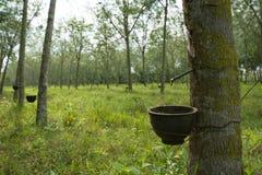 Knackande lätt på latex från en gummiträd med bakgrund för rubber koloni Royaltyfria Bilder