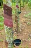 Knackande lätt på latex från en rubber tree Royaltyfria Bilder