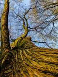 Knackender Baum Lizenzfreies Stockfoto