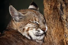 Knackered. A close-up of a female bobcat (Lynx rufus) sleeping against a tree Royalty Free Stock Photography