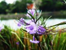Knall Krachao-Blumen-Garten thailändisch Stockbilder