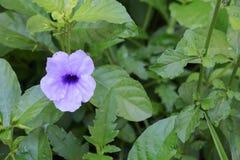 Knallende Hülsenblume Purpurblüte Stockfotografie