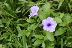 Knallende Hülsenblume Purpurblüte Stockfotos