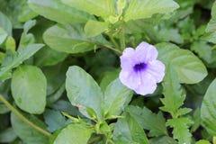 Knallende Hülsenblume Purpurblüte Stockbild