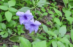 Knallende Hülsenblume Purpurblüte Lizenzfreies Stockbild