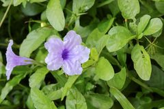 Knallende purpurrote Blüte der Hülsenblume morgens Stockfotos