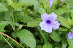 Knallende purpurrote Blüte der Hülsenblume morgens Lizenzfreie Stockfotografie