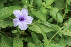 Knallende purpurrote Blüte der Hülsenblume morgens Stockfoto