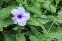 Knallende purpurrote Blüte der Hülsenblume morgens Lizenzfreies Stockbild