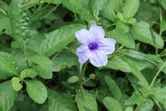 Knallende purpurrote Blüte der Hülsenblume morgens Stockbilder