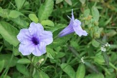 Knallende purpurrote Blüte der Hülsenblume morgens Stockfotografie