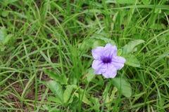 Knallende purpurrote Blüte der Hülsenblume morgens Stockbild
