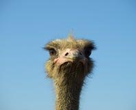 Knap gezicht van Struisvogel royalty-vrije stock foto's