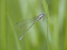 Knapp blått-tailed damselfly, Ischnura pumilio Fotografering för Bildbyråer