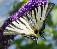knapp swallowtail arkivfoton