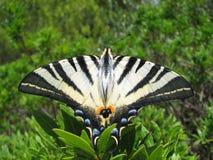 knapp swallowtail arkivbild
