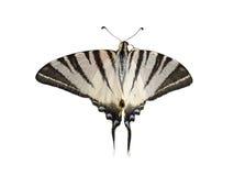 Knappa Swallowtail & x28; Päron-träd Swallowtail& x29; fjäril som isoleras på arkivfoton