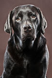 Knappe Chocolade Labrador stock afbeelding