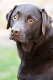 Knappe Chocolade Labrador in de Tuin royalty-vrije stock foto