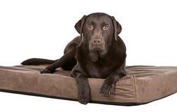 Knappe Chocolade Labrador op Bed. Op z'n gemak! royalty-vrije stock fotografie