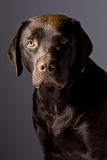 Knappe Chocolade Labrador tegen Grijs Stock Foto's