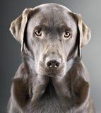 Knappe Chocolade Labrador tegen Grijze Backgroun stock afbeeldingen