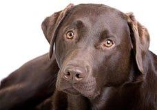 Knappe Chocolade Labrador tegen Wit royalty-vrije stock foto's