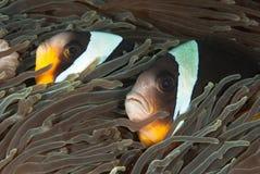 Knappe clownfish Stock Afbeeldingen