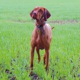 Knappe hond Royalty-vrije Stock Foto