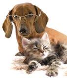 Knappe hond in glazen en kat Stock Afbeelding