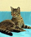 Knappe jonge gestreepte katkat royalty-vrije stock fotografie
