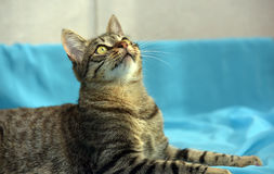 Knappe jonge gestreepte katkat royalty-vrije stock afbeelding