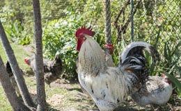 Knappe kleurrijke haan of het vechten haan in het landbouwbedrijf met kippen op een achtergrond Mooie Kip Spelhanen royalty-vrije stock afbeelding