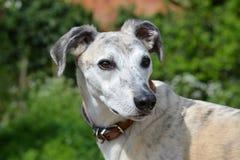 Knappe Lurcher Hond Royalty-vrije Stock Afbeeldingen