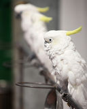 Knappe papegaai Stock Afbeelding