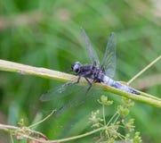 Knappes Geleitboot-blaue Libelle von der Seite stockfotografie