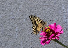 Knappes Swallowtail Stockfoto