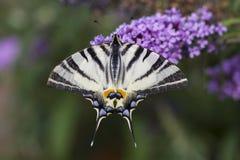 Knappes swallowtail, schöner Schmetterling auf Blume stockbilder