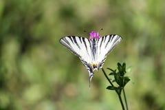 Knappes Swallowtail Schmetterling mit der schneeweißen niedrigen Farbe mutig markiert mit den schwarzen Tiger ähnlichen Streifen, lizenzfreie stockbilder