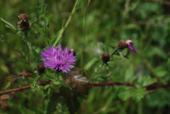 Knapweed Royaltyfria Bilder