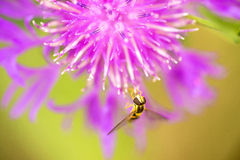 Knapweed bloom Stock Photography
