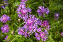 Knapweed close-up in field. Stock Photos