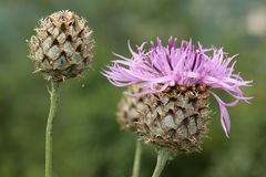 Knapweed de Brown Foto de Stock Royalty Free