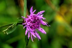 Knapweed de Brown Flor do campo Foto de Stock