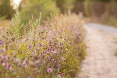 Knapweed de prado que cresce perto da estrada Modo do verão Fotografia de Stock Royalty Free