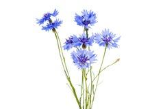 Knapweed flower Stock Image