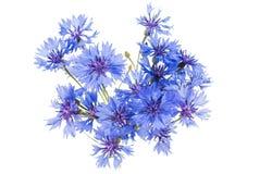 Knapweed flower Stock Photos