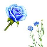 Knapweed flower on white background. illustration Stock Photo