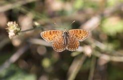 Knapweed fritillary butterfly stock photography